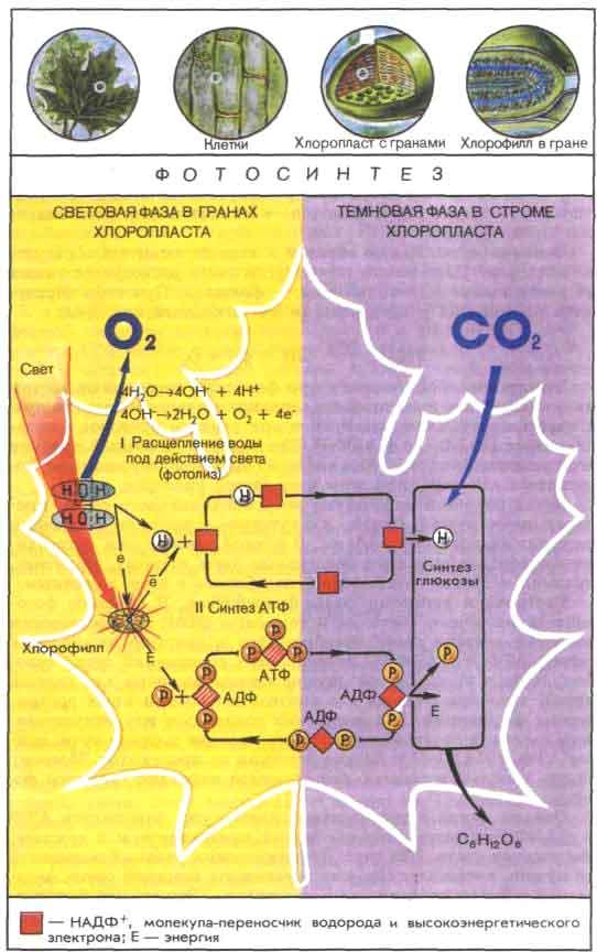 Схема фотосинтеза.