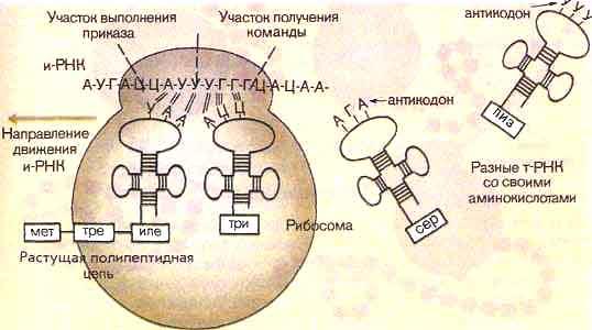 Биосинтез белков.