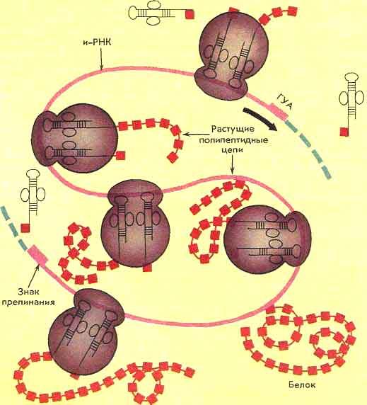Синтез белков на полисоме.
