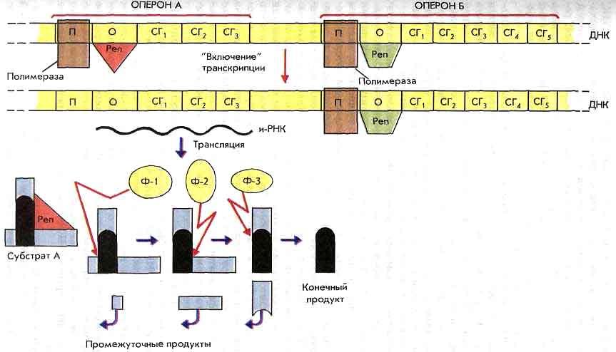 Схема регуляции транскрипции и